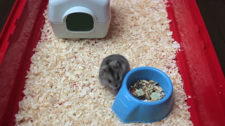 grappig dier : Funny hamster lopen close-up Stockvideo