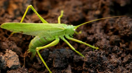 gafanhoto : Big green grasshopper lays her eggs in the soil