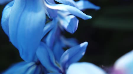 Blue flower in garden blow by the wind
