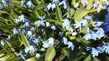 Blue Scilla flowers in garden. First spring flowers swing in wind on sunny day Stok Video