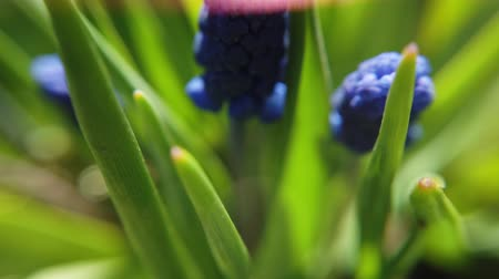 крахмал : Footage of beautiful blue starch grape hyacinth flowers bloom in spring garden