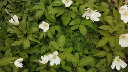 kankalin : Spring white flowers Europe. Noble mayflower (Hepanca nobilis) Stock mozgókép