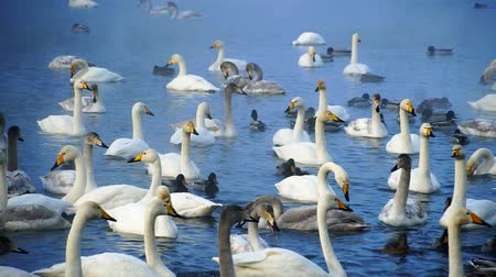 miktar : Huge amount of swans in lake Stok Video