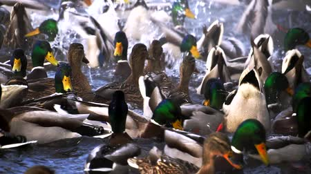 altay : Huge amount of ducks on lake Stok Video