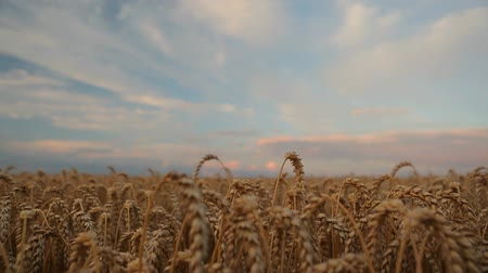 Field of wheat and beautiful sky with pink clouds  HD
