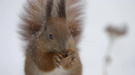 Squirrel eating a nut in winter