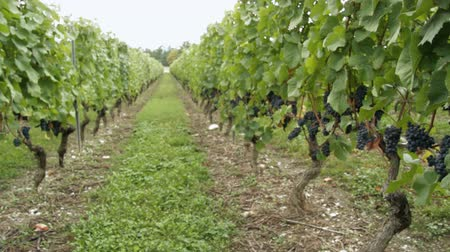 winnica : Tracking shot in vineyard. Find similar clips in our portfolio.