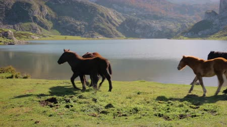 Horses grazing and trotting in the mountains next to a lake on a sunny day Stock Footage
