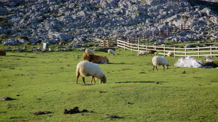 Flock of sheep and cow grazing in the mountains on a sunny day Stock Footage