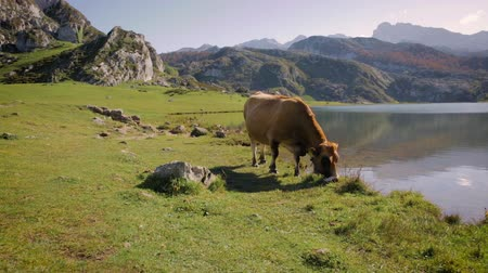 cielęcina : Cow grazing in the mountains next to a lake on a sunny day