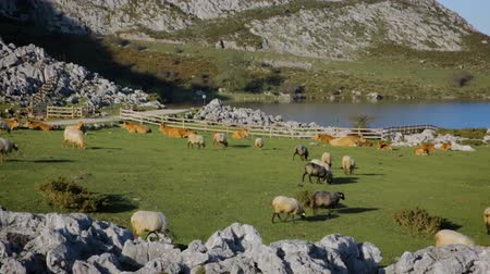 Flock of sheep and cows grazing in the mountains next to a lake on a sunny day Stock Footage
