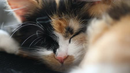 üç renkli : Close up of a sleepy cat, resting and blinking