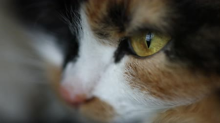 siamský : Close up of cat face, brown eye