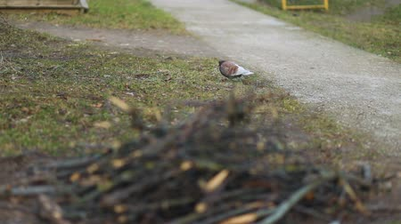 rock dove : Brown-colored pigeon urban bird walking on the countryside park stoned road, Steady cam, slow mo shot