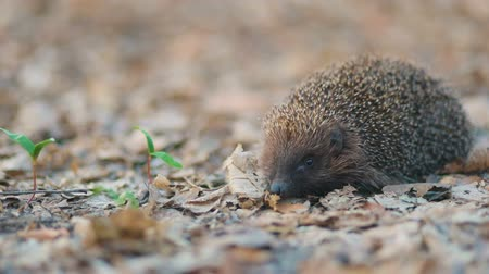 еж : Hedgehog with a pretty long nose walking through the carpet of yellowed dry forest leafs, Steady cam, slow mo shot