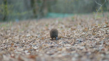 Small pretty hedgehog walking across yellowed dry lips in the forest, Steady cam, slow mo shot Stock mozgókép