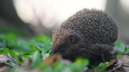 europaeus : Little guardian of the forest hedgehog inspect his neighbourhood in searching of the meal, Steady cam, slow mo shot Stock Footage