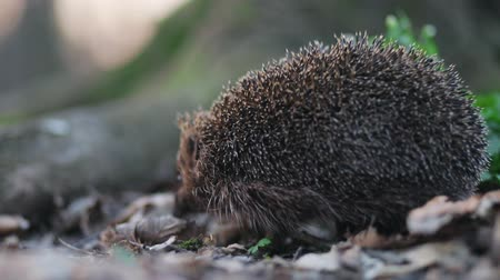 europaeus : Cute small barbed hedgehog walking through dry lips in forest near tree roots and green grass Stock Footage