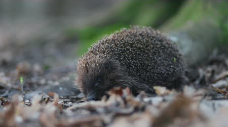 hibernation : Cute little modest hedgehog looking in the camera and yanks by his nose Stock Footage