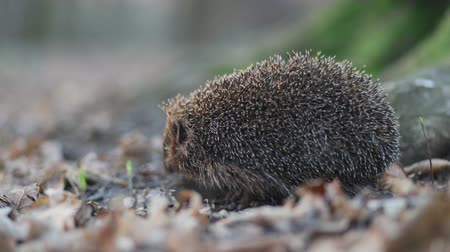 еж : Petite cautious animal hedgehog staying in root of the forest tree and sneaking his nose in search of the meal Стоковые видеозаписи