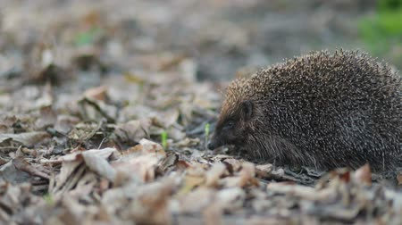 hibernation : Pleasant weeny forest hedgehog sneaking his nose trying to feel the smell of nature around, Steady cam, slow mo shot Stock Footage