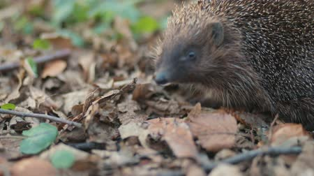 csibész : Pretty small sweet common hedgehog eating from the land in the forest