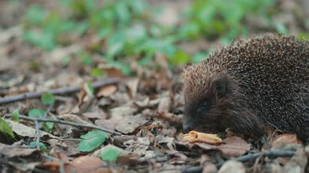 Cute little hedgehog trying to eat a whole flour biscuit in the forest carpet of past year leafs green grass, Steady cam, slow mo shot
