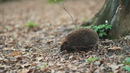 common : Shy small forest hedgehog moving forward to the roots of the big tree through the green grass, Steady cam, slow mo shot