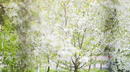 oriental cherry tree : Flowering trees sway from the wind in the spring city landscape Stock Footage