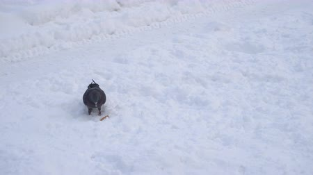 subsistence : pigeon bird search food on a snow Stock Footage