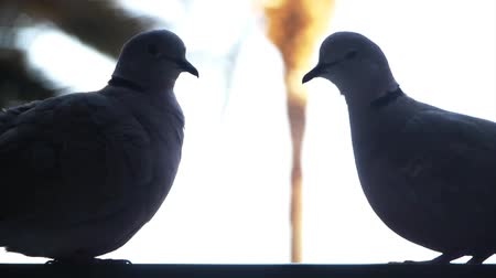 parecer : two doves seem like an old married couple