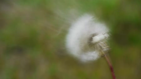 dmuchawiec : a blowball or dandelion becomes blown, all blossom particles fly away, slow motion