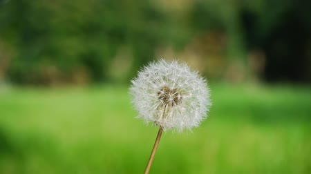 dmuchawiec : a blowball or dandelion is shown in the foreground, people are passing in the background Wideo
