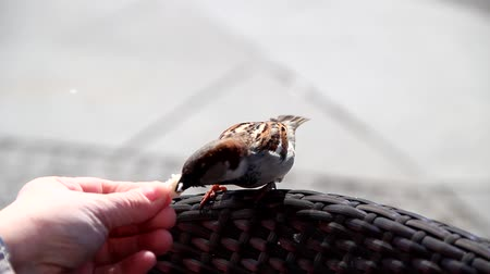 veréb : a curiuos sparrow comes to a person and takes bread from a hand Stock mozgókép