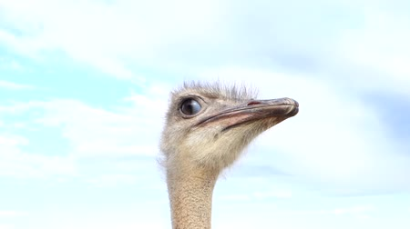 pštros : some curious female ostrich - recognizable on the gray snout - waits for interesting things to happen Dostupné videozáznamy