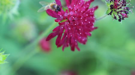 fetch : a bee works on a blossom of a scabious atropurpurea until another bee shove it away and takes the nectar Stock Footage