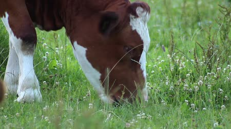 pastar : a cow eating grass in a meadow Stock Footage