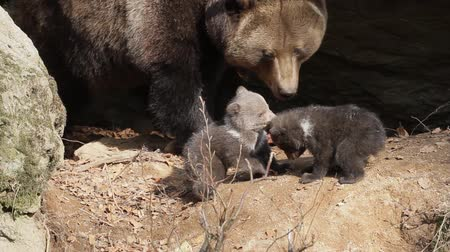 infante : Bear mother and triplets
