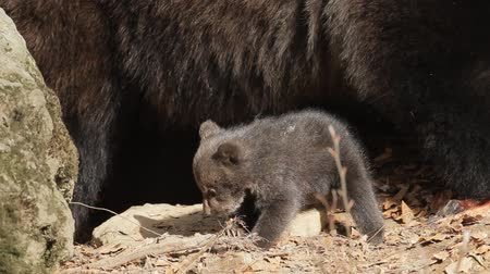 infante : Bear mother and baby Stock Footage