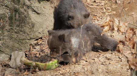 infante : Baby bears eating