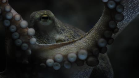 emme : Octopus grabbing camera in the Mediterranean - underwater shot Stok Video