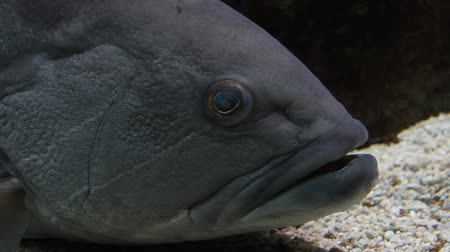 miscellaneous : Eye contact with a large gray grouper - underwater shot