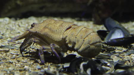 spiny : Crayfish underwater shot with movement
