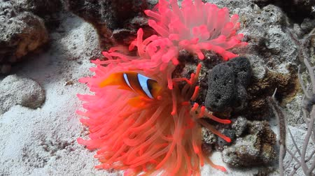 Copper Anemone in the Red Sea, Marsa Alam, Egypt