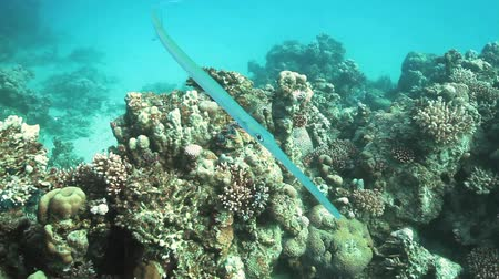 crocodilo : Needlefish red sea egypt underwater shot
