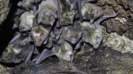 Large colony of antillean fruit-eating bats in a cave on the caribbean island of Antigua