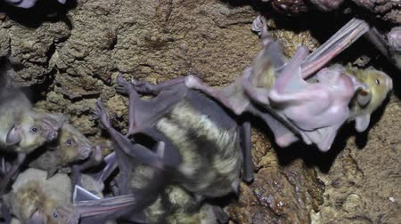 fruit bat : Large colony of antillean fruit-eating bats in a cave on the caribbean island of Antigua