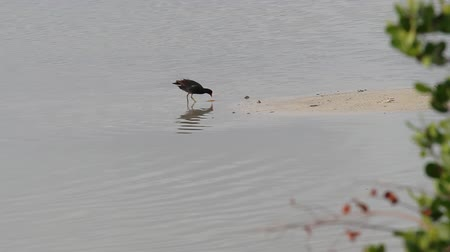 salt lagoon : Moorhen waterbird on the Caribbean island of Antigua