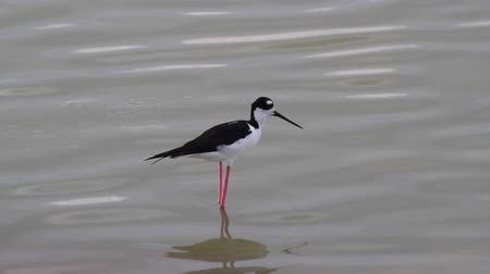 salt lagoon : Black necked stilt waterbird on the Caribbean island of Antigua