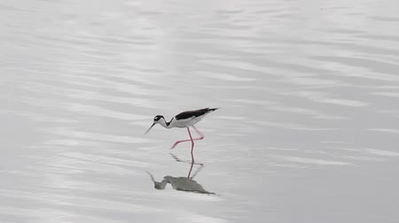 salt marsh : Black necked stilt waterbird on the Caribbean island of Antigua